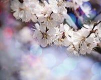 Винтажное фото цветка дерева абрикоса с красивой предпосылкой bokeh Фон весны тематический для вашего дизайна Стоковая Фотография RF