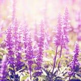 Винтажное фото цветков лаванды Стоковое Изображение