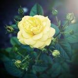 Винтажные желтые цветки в саде Стоковая Фотография RF