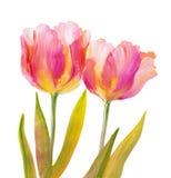 Винтажные розовые тюльпаны Стоковое Изображение