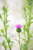Винтажные цветки thistle фото Стоковые Изображения RF