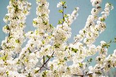 Винтажный вишневый цвет Стоковые Изображения