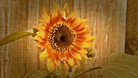 Винтажный солнцецвет - цветок в солнце Стоковая Фотография