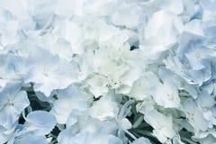 Винтажный тон голубых цветков гортензии Стоковое Изображение
