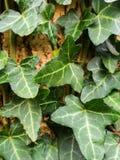 Винтовая линия Hedera, плющ винтовой линии Hedera, зеленая пульсация растя на clo дерева Стоковые Фото