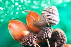 Винтовой линии pomatia улитка также римская, бургундская улитка, воздушно улитка земли, земная pulmonate наяда gastropod внутри стоковое фото