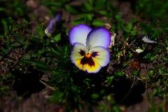 Виола tricolor var hortensis Стоковые Изображения RF