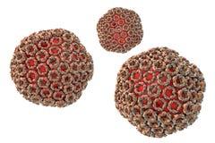 Вирус лихорадки Восточно-африканской зоны разломов иллюстрация вектора