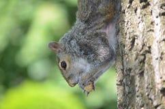 Висеть белки вверх ногами на дереве Стоковые Изображения RF