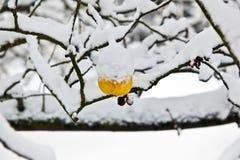 висеть ветви яблок зрелый Стоковая Фотография RF