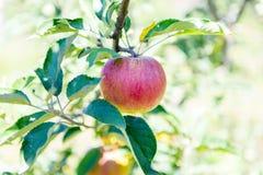 висеть ветви яблок зрелый Стоковые Изображения