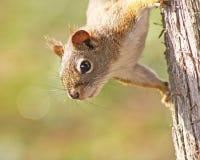 Висеть красной белки вверх ногами на дереве Стоковые Фото