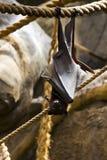 Висеть летучей мыши плодоовощ вверх ногами Стоковая Фотография RF