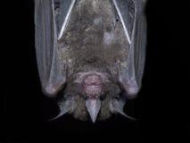 висеть летучей мыши Стоковое фото RF