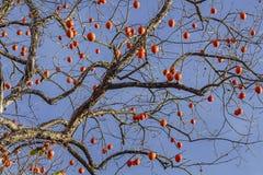 Висеть на дереве хурм Дерево без листьев с зрелым плодоовощ хурмы стоковое фото rf