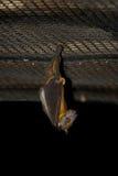 висеть плодоовощ летучей мыши Стоковые Фотографии RF