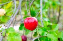 Висеть Apple красный от ветви вала Стоковое Фото