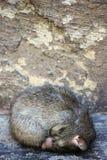 Висок крысы в Deshnok, Индии (висок Karni Mata) Стоковая Фотография RF