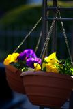 2 вися бака с фиолетовыми цветками Стоковые Изображения RF