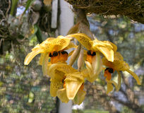 вися желтый цвет орхидей Стоковые Фотографии RF