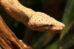 вися змейка Стоковая Фотография