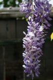 Вися пурпурные цветки глицинии перед сараем стоковое изображение rf