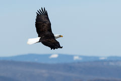 витать облыселого орла Стоковое фото RF