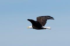 витать облыселого орла Стоковое Фото
