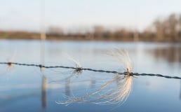Вихоры horsehair переплетаннсяые с колючей проволокой Стоковое Изображение RF