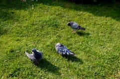 Вихруны на траве Различное состояние 3 птиц Стоковая Фотография