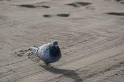 вихрун одичалый Стоковые Фото