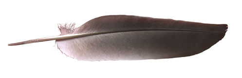 вихрун пера Стоковые Изображения RF