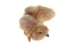 вихрун цыпленока Стоковое Изображение RF