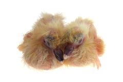 вихрун цыпленоков Стоковое Изображение RF