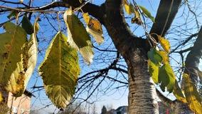Вишневое дерево в осени с падать листьев стоковые изображения