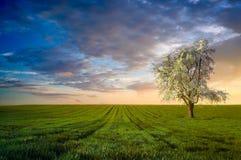 Вишневое дерево в пшеничном поле стоковые изображения
