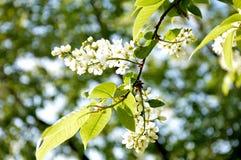 Вишневое дерево птицы в цветении на солнечный праздник Первого Мая Стоковые Изображения RF