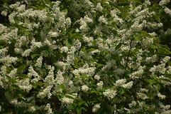 Вишневое дерево птицы в цветении на солнечный праздник Первого Мая Стоковые Изображения