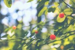 Вишневое дерево растя в диком лесе стоковые фото