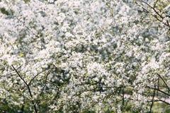 Вишневое дерево Сад вишни в цветени E стоковое фото rf