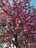 Вишневое дерево с розовыми листьями и голубым небом стоковое фото rf