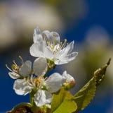 Вишневое дерево цветения стоковое изображение