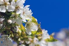 Вишневое дерево цветения стоковое фото rf