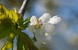 Вишневое дерево цветения стоковое изображение rf