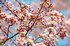 Вишневое дерево весны зацветая с мягким фокусом Стоковая Фотография