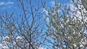 Вишневое дерево в ветре видеоматериал