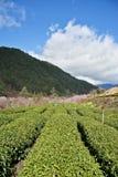 Вишневое дерево в ферме Тайване Wuling стоковое фото rf