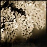 Вишневое дерево птицы весны blossoming в тоне sepia Стоковые Фотографии RF
