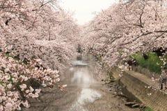 Вишневое дерево реки Gojo Стоковое Изображение RF