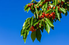 Вишневое дерево Стоковое Изображение RF